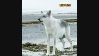 گرگ/زوزه ی گرگ