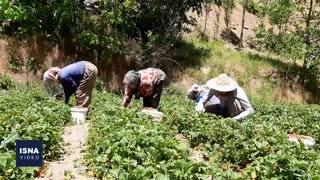 برداشت توت فرنگی در کردستان و مشکلات باغداران