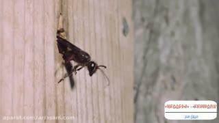 زنبور قاتل شکارچی زنبور عسل