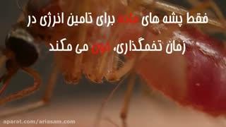پشه ها به چه چیزهایی جذب می شوند؟   سم قوی برای از بین بردن پشه