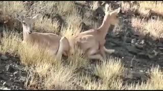 بره آهوهای سه قلو در بوستان ملی کویر